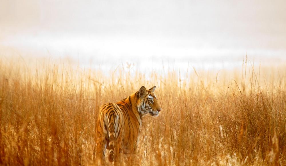 Тигровые грезы