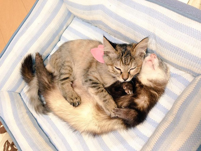 rescue-kitten-komari-ferret-brothers-06